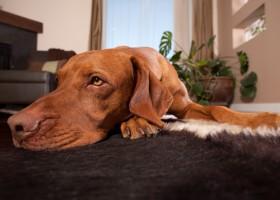 Cachorro no apartamento. Confira estas dicas para evitar problema com os vizinhos!