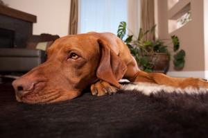 Cachorro no Apartamento