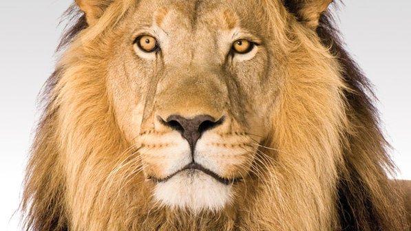 Imagem do rosto de um leão